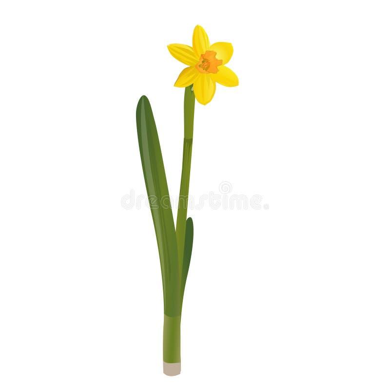 Daffodil . Vector illustration. vector illustration