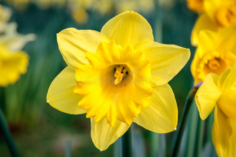 A Daffodil stock images