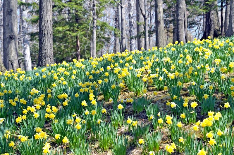 Daffodil wzgórze zdjęcia stock