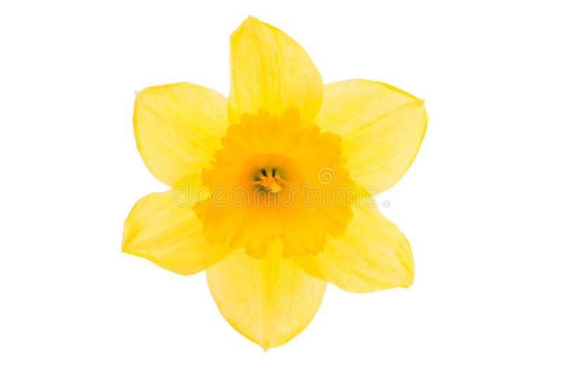 daffodil yellow flower stock images