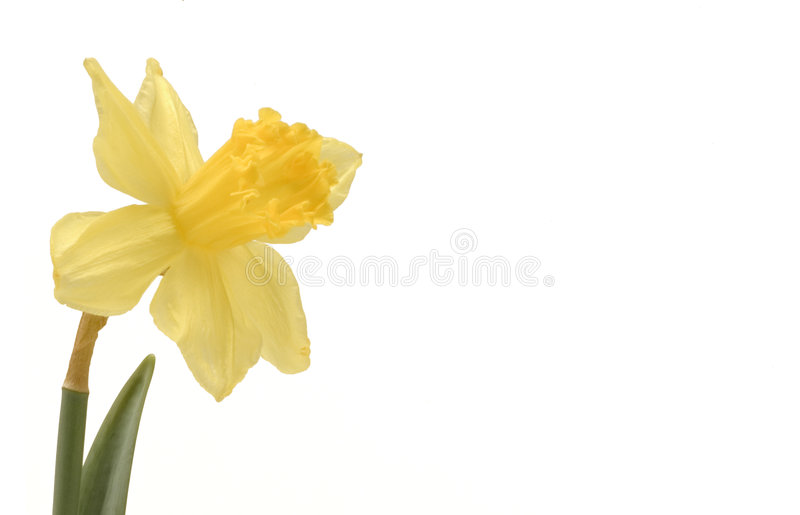 Daffodill royalty-vrije stock foto