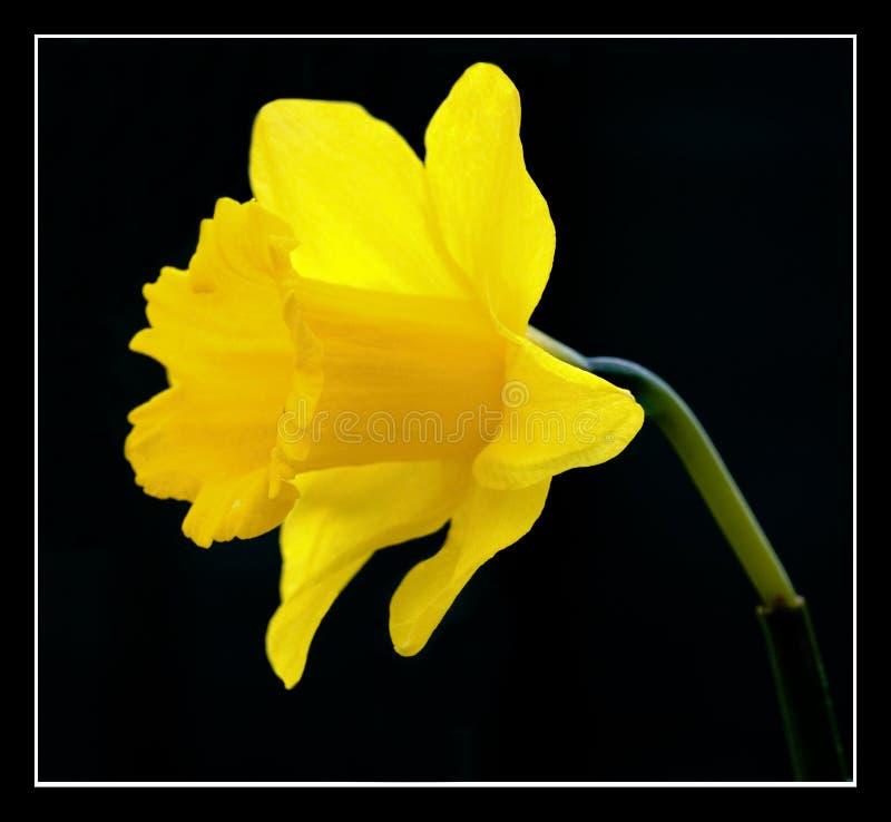 daffodill royaltyfri foto