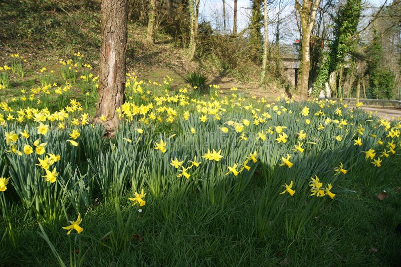 Daffodills chez Cefn Onn image stock