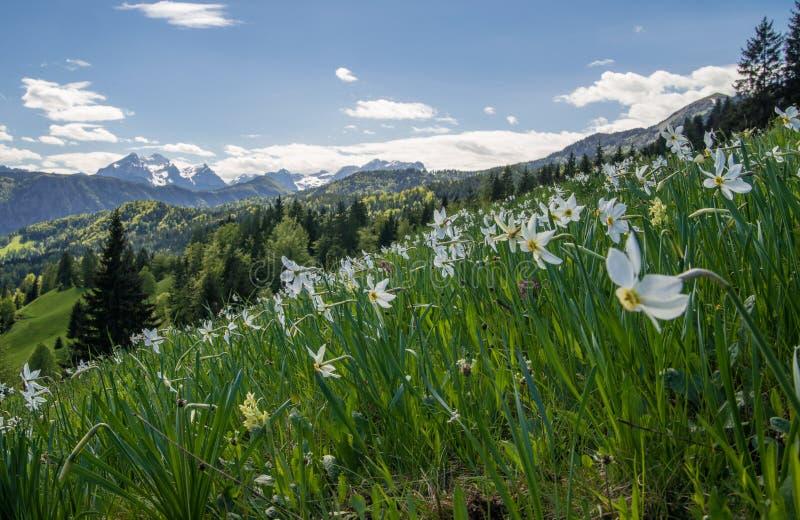 Daffodills con las montañas foto de archivo