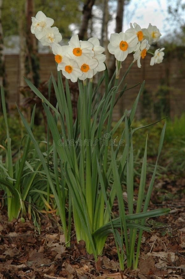 Free Daffodills (Narcissus  Geranium ) Royalty Free Stock Images - 27561919