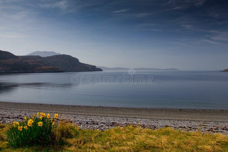 Daffodills vid fjordkvasten i Skottland royaltyfria foton