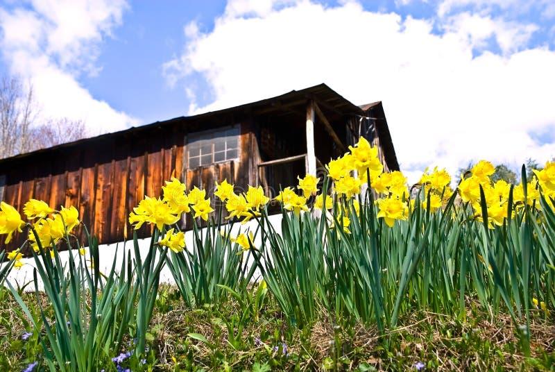 daffodils άνοιξη λουλουδιών στοκ εικόνα