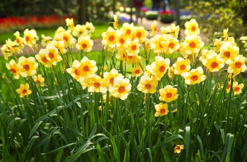 daffodils άνοιξη πάρκων κίτρινη στοκ εικόνες