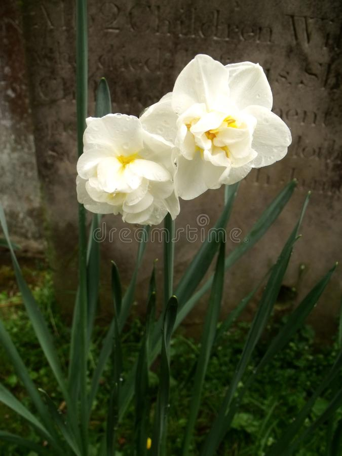 Daffodils και τάφος στοκ φωτογραφία με δικαίωμα ελεύθερης χρήσης