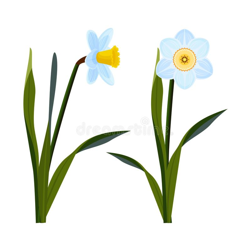 Daffodils με τους ανοικτούς μπλε οφθαλμούς και το μακροχρόνιο πράσινο μίσχο ελεύθερη απεικόνιση δικαιώματος