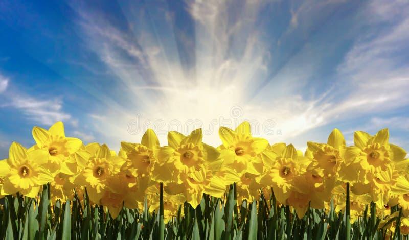 Daffodils στον ήλιο απεικόνιση αποθεμάτων