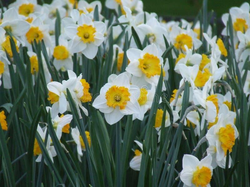 Daffodils της άνοιξης στοκ φωτογραφίες