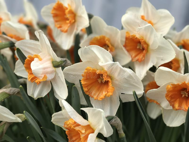 Daffodils белые и желтые стоковая фотография