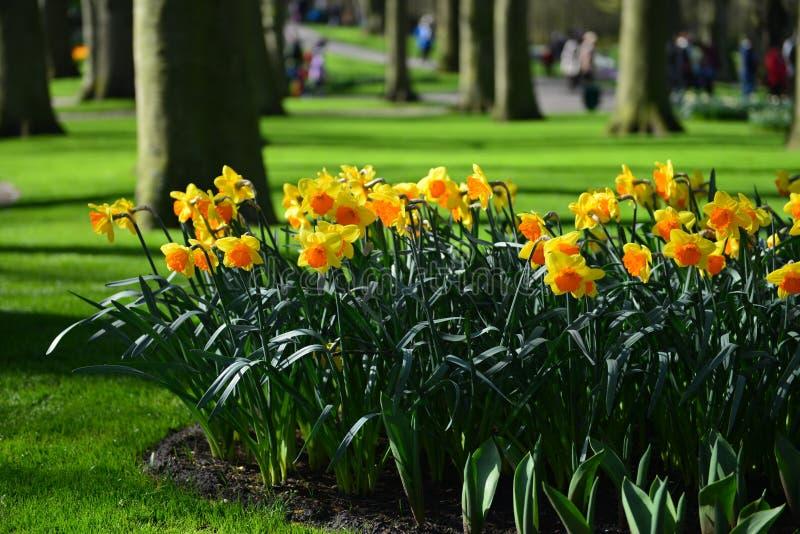 Daffodils в солнечном парке стоковая фотография rf