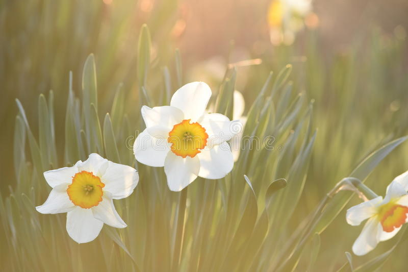 Daffodils в солнечности стоковое изображение