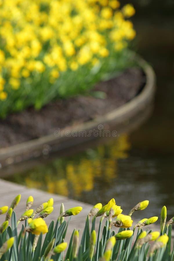 Daffodils желтого цвета первокурсницы Narcissus стоковое изображение
