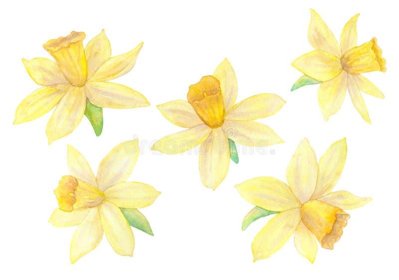 Daffodils или narcissus Желтые цветки Иллюстрация акварели нарисованная рукой белизна изолированная предпосылкой иллюстрация вектора