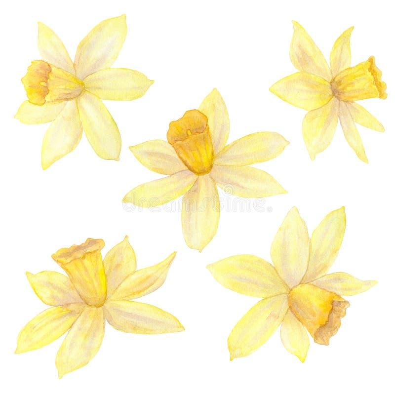 Daffodils или narcissus Желтые цветки Иллюстрация акварели нарисованная рукой белизна изолированная предпосылкой бесплатная иллюстрация