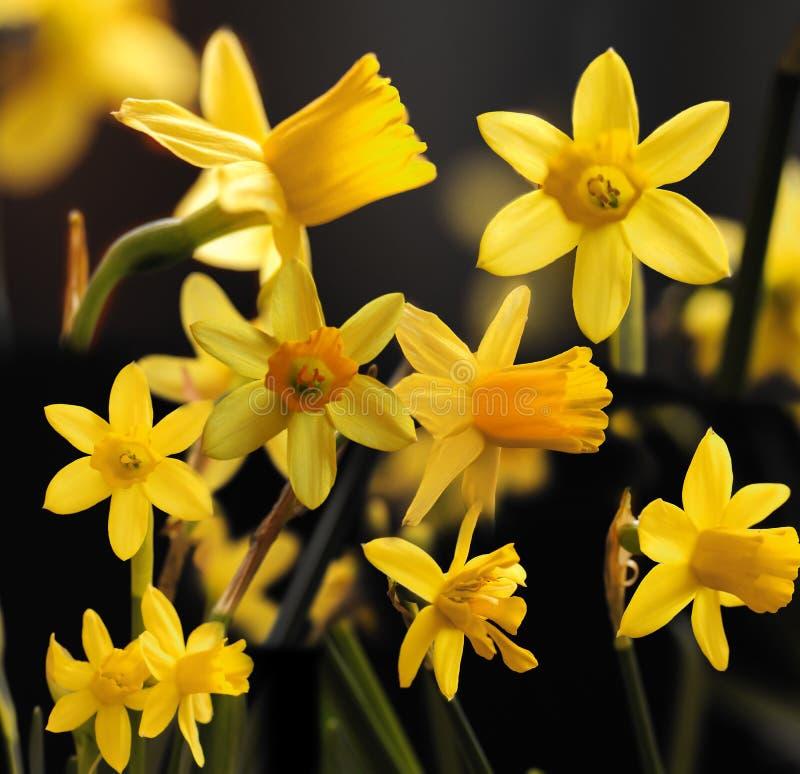 daffodils коллажа стоковая фотография rf