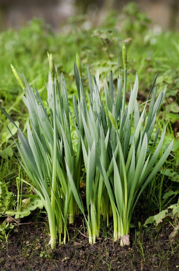 Daffodils перед blossoming в саде Время весны… подняло листья, естественная предпосылка стоковая фотография
