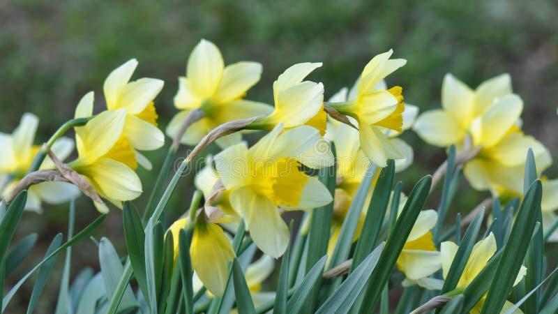 daffodils stock foto's