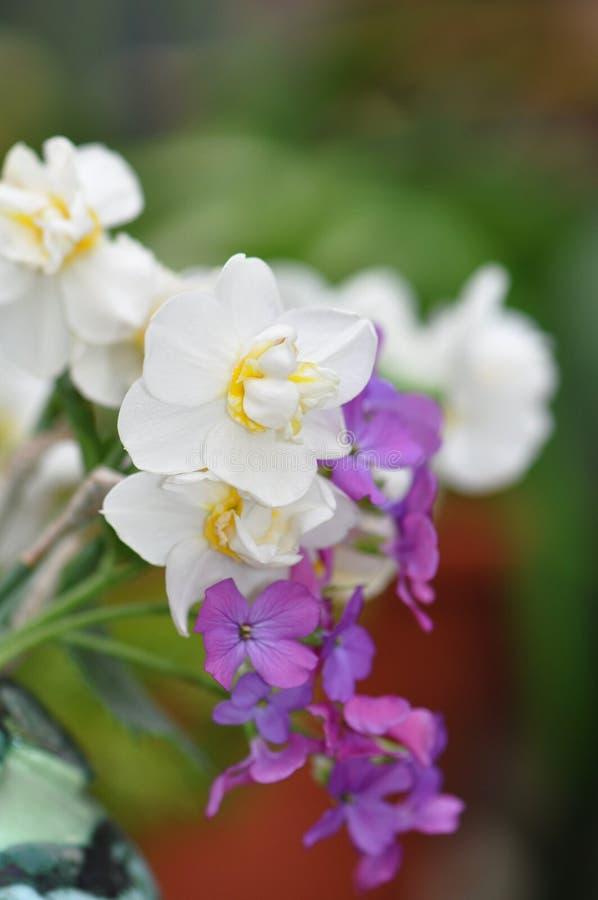 daffodils royalty-vrije stock foto