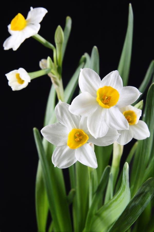 Download Daffodils στοκ εικόνες. εικόνα από bloodsuckers, closeup - 13188840