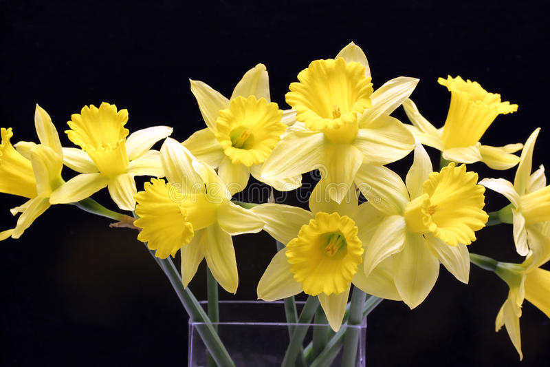 Download Daffodils Stock Photos - Image: 13310723