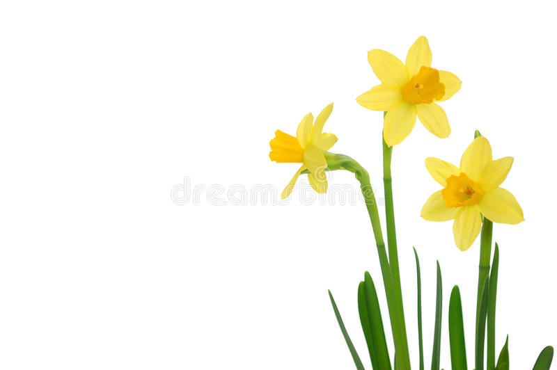Daffodils. Spring daffodils isolated on white (also space for text stock photos