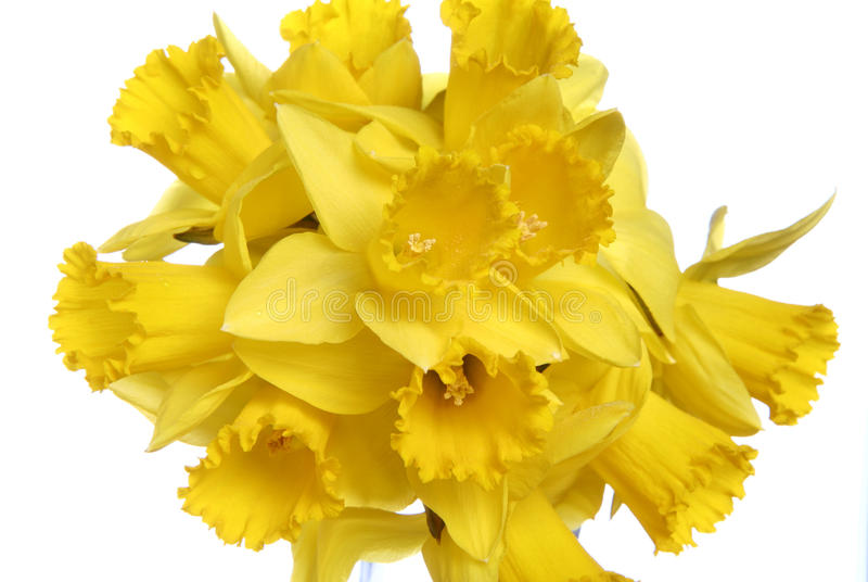Daffodils. Bunch of daffodils on white background royalty free stock photos