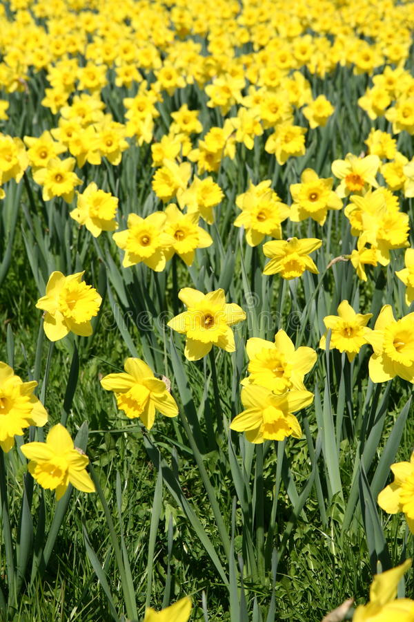 Daffodils. Field of blooming daffodils in early spring in a park royalty free stock photography