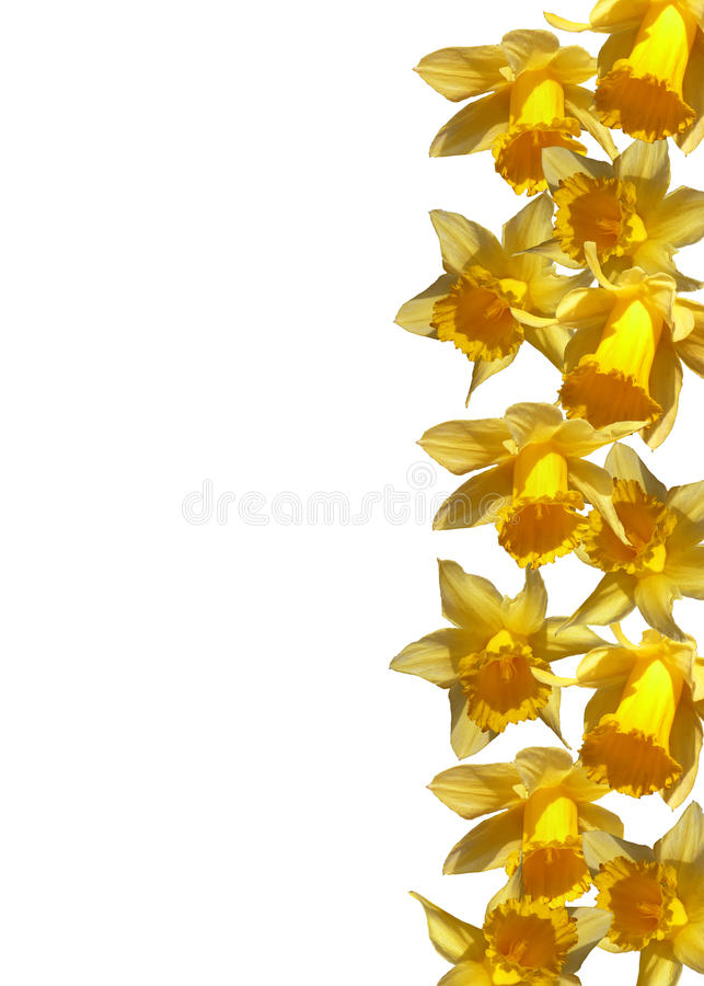 Daffodils. Yellow daffodils on white background stock photography