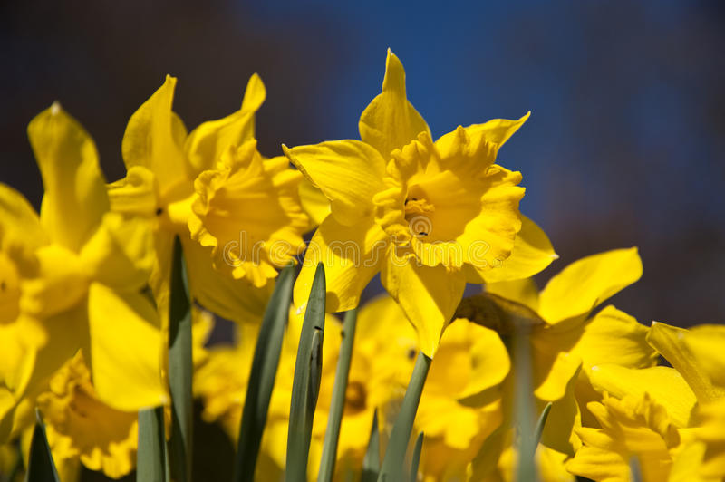 Daffodils. Close up of daffodils in april stock image