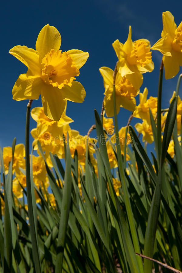 Download Daffodils stock image. Image of landscape, many, trumpet - 14065853