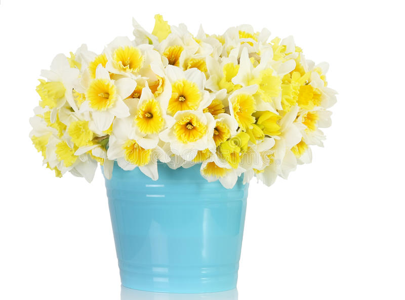 Daffodils. Large bunch of daffodils in a blue container stock photography