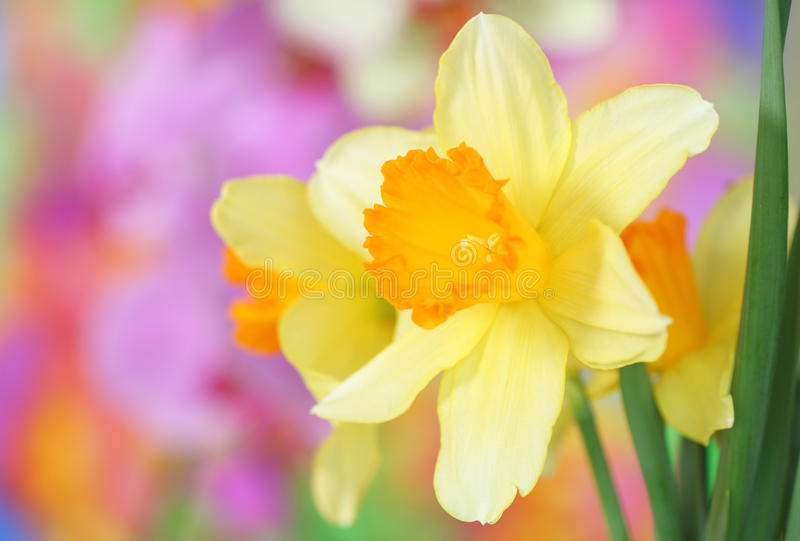 Download Daffodils stock image. Image of narcissus, close, head - 18064025