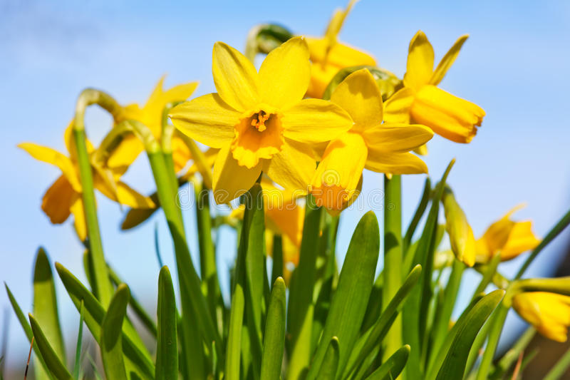 Daffodils. Many daffodils in front of blue sky royalty free stock image