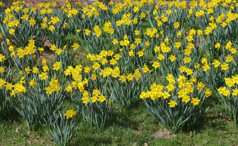 daffodils стоковое фото rf