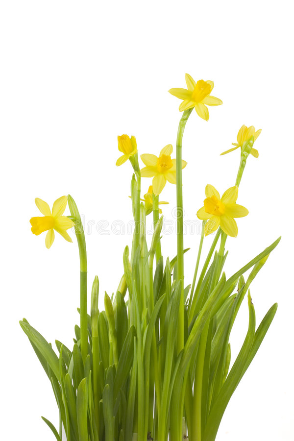 Free Daffodils Royalty Free Stock Image - 1989146