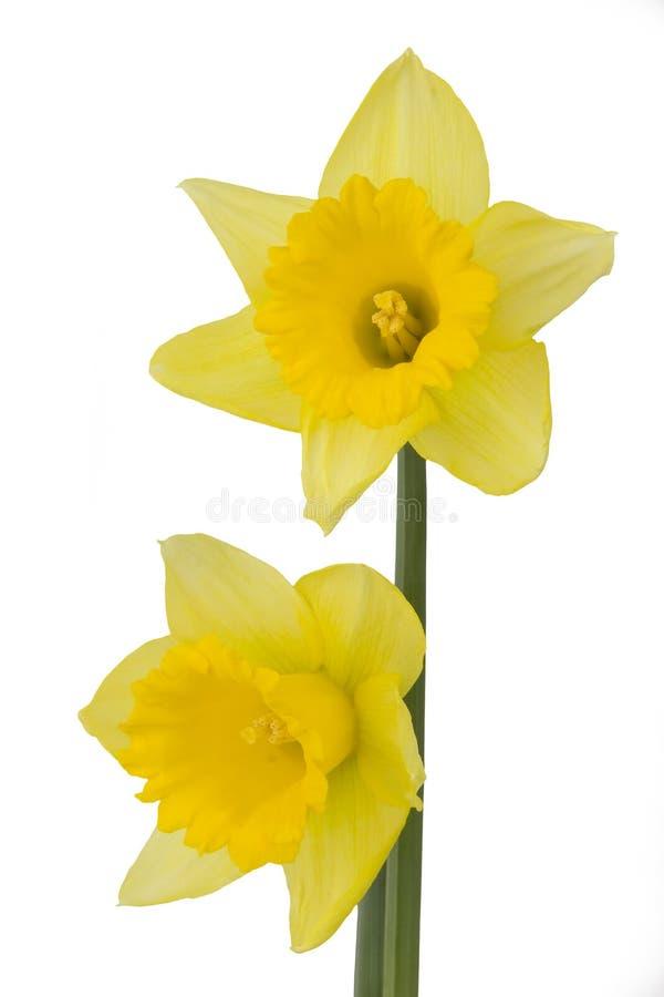 daffodils 2 стоковая фотография