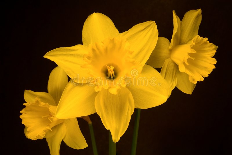 Daffodils. Three fresh picked yellow daffodils royalty free stock photo