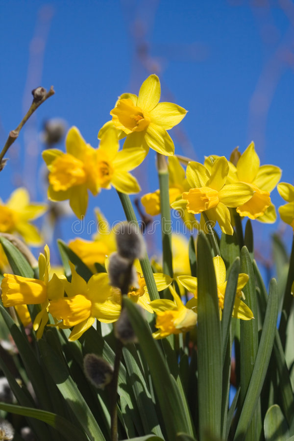 Daffodils. Beautiful spring flowers and branches of willow royalty free stock images