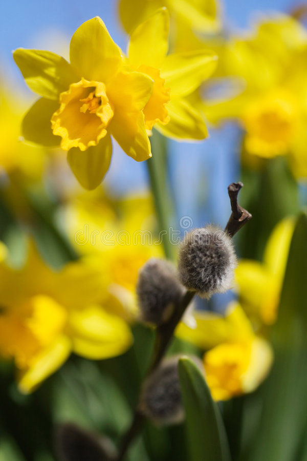 Daffodils. Beautiful spring flowers and branches of willow stock photography