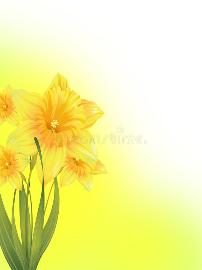 Daffodils. Flower background with four daffodils royalty free stock image