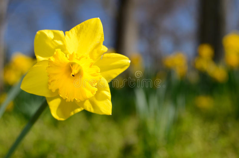 Daffodils. Close up of yellow daffodils against a clear blue sky stock photography