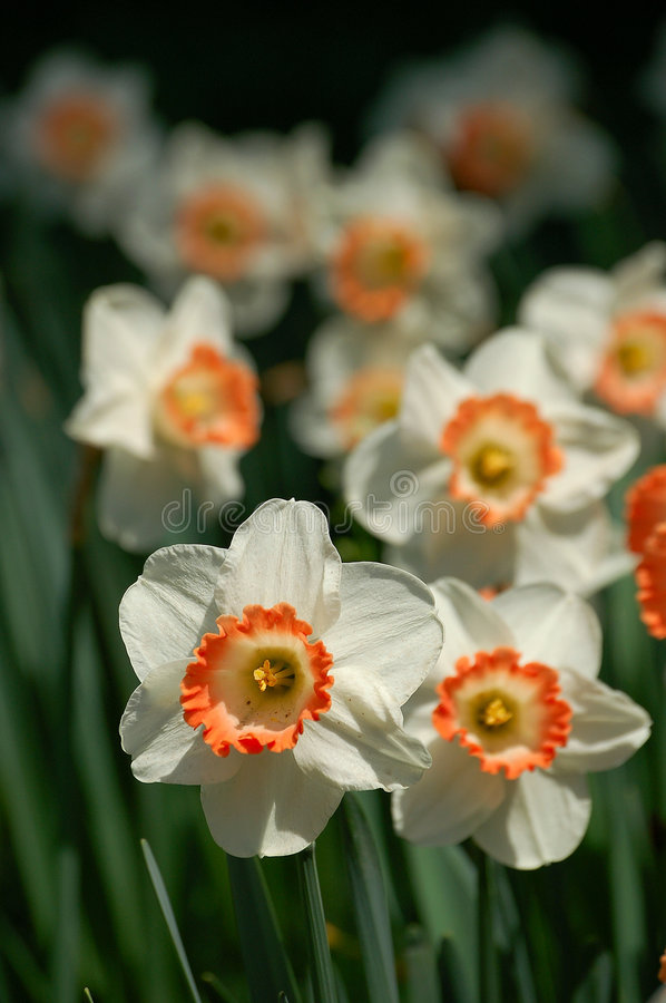 Daffodils. Spring daffodils blooming under sunlight stock photos