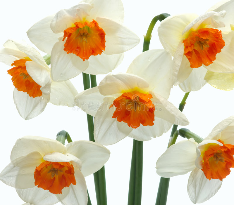 Daffodils Fotografia de Stock Royalty Free
