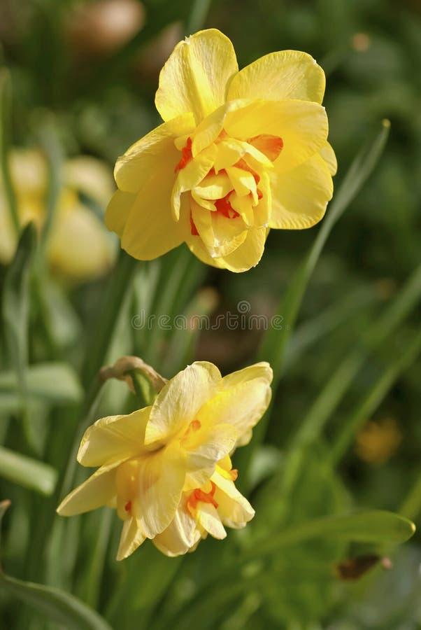 Daffodils στοκ φωτογραφία