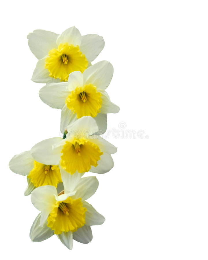 Download Daffodils stock image. Image of decorative, flowers, springtime - 4494013