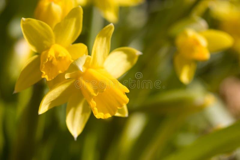Daffodils. Beautiful yellow daffodils in nature royalty free stock photos